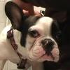 Borisz bulldog ekcémája - Hogyan kezeljük?