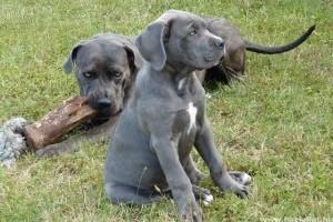 Cane Corso: aktív és intelligens örző-védő kutya