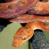 Melyik óriáskígyó való lakásba?