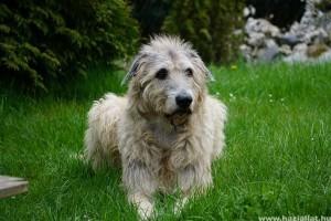 Ír farkaskutya (Irish Wolfhound), a hős vadász és hatalmas barát