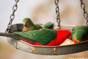 Milyen a jó madáreleség? Táplálkozási tanácsok papagájoknak