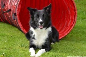 Border collie, a világ legokosabb kutyája