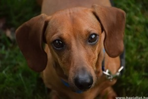 Rövidszőrű tacskó: jó szimatú és fürge kutya
