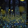 Ízeltlábúak: miért világít a szentjánosbogár?