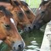 Öntsünk tiszta vizet a vödörbe! - mit és hogyan igyon a ló