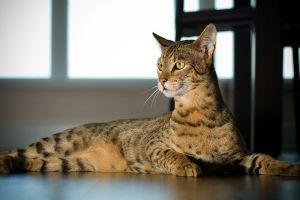 Ashera - avagy nem mind macska, ami nyávog