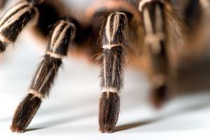 A pókok ivarának meghatározása