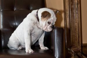 Bonita a ringben - angol bulldog a kutyakiállításon