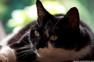 A nőstény macska ivartalanítása - videón