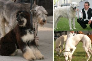 Európa kutyakiállítás Budapesten (2008. október 3-5.) - videó