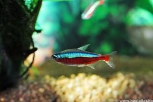 Vörös neonhal: optikai tuning az akvárimodba
