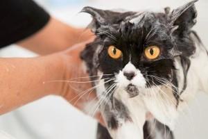 Macska fürdetése: hogyan, mivel, mikor?