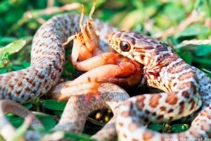 Mit eszik a kígyó vacsorára?