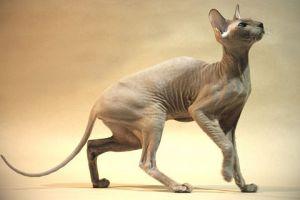 Peterbald, az orosz kopasz macska