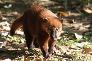 Az ormányos medve (Nasua nasua)