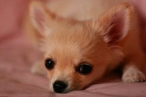 Csivava (Chihuahua), az életvidám kutya