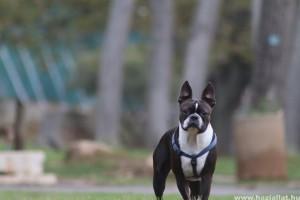 Boston terrier: harci kutyából vált ölebbé
