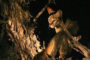 Vadmacskák- az afrikai vadmacska