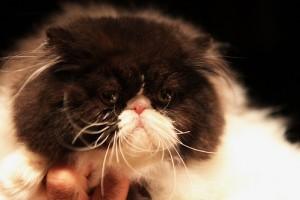 Bicolor perzsa macska