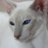Tudod milyen a balinéz macska?