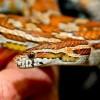 Kígyók a terráriumban: a gabonasikló