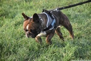 Miért rángatja a kutya a pórázt, és hogyan szoktassuk le róla?
