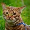 Ismered az ocicat pöttyös macskát?