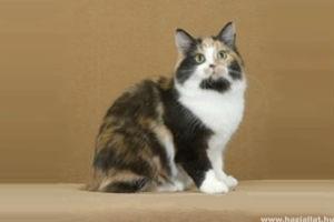 Farok nélkül születik a Man-szigeti macska: itt a manx videón!