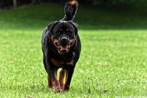 A rottweiler csak akkor agresszív, ha rosszul bánnak vele