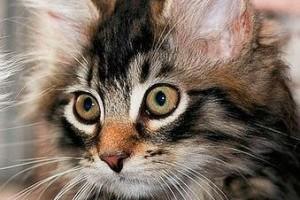 Szibériai macska, a harcedzett túlélő