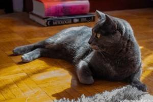 Cári méltóság: az orosz kék macska