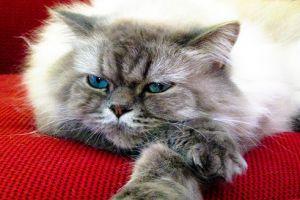A perzsa macska rejtélye