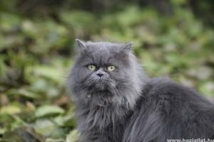 A perzsa macska tartása és gondozása