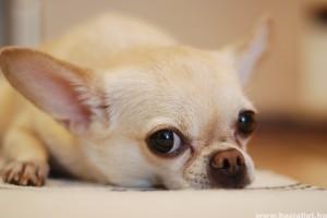 Szeparációs szorongás: amikor a kutya fél egyedül