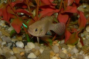 Akvárium karbantartás: miért fuldokolnak a halak az akváriumban?