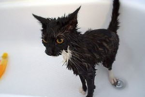 Hogyan fürdessük meg a macskát?