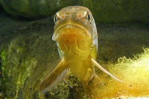 Belső szervek elzsírosodása halaknál
