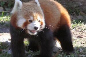 A vörös panda (vörös macskamedve, Ailurus fulgens)