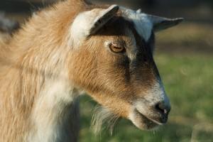 A kecsketenyésztés alapjai