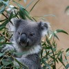 A koala (Phascolarctos cinereus)