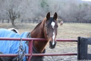 Kólika a lovaknál végzetes is lehet
