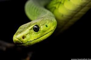 Szeretnél kígyót háziállatként?