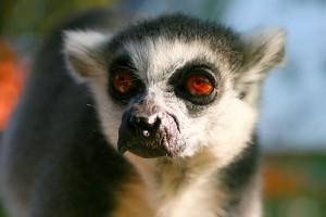A gyűrűsfarkú maki (Lemur katta) - 1. rész