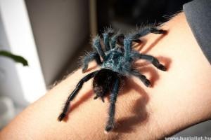 Pókcsípések: veszélyes pókok, illetve hogyan kezeljük a csípésüket?