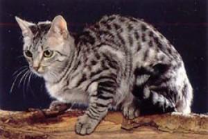 A kaliforniai pöttyös macska (California Spangled Cat) profilja - 1. rész