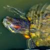 Mivel etessük a vörösfülű ékszerteknőst (Trachemys scripta elegans)?