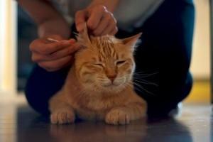 Hogyan kell megfelelően kitisztítani a macska fülét?