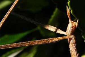 A botsáska (Phasmatodea), mint házikedvenc - 1. rész