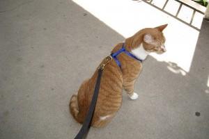 Tudnivalók a macskasétáltatásról (vicces videóval)