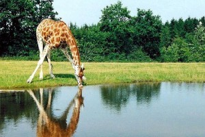 Mit kell tudni a zsiráf nyakáról?
